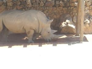 Rinocéros, zébres et girafes (5)